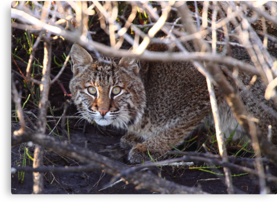 Bobcat by naturalnomad