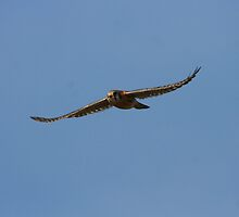 An American Kestrel Falcons Flight by DARRIN ALDRIDGE