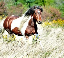 Pippin - Grayson Highlands Pony Stallion by prairiewindlady
