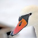 Inquisitive swan  3839 by pogomcl