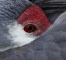 *Sandhill Crane at Rest*  by naturalnomad