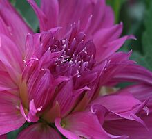 Rosy Dahlia by Monnie Ryan