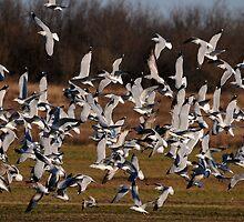 Flock of Ring-Billed Gulls by Dennis Stewart