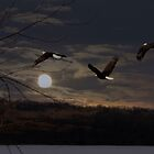 Bald Eagles in the Moonlight by tcat757