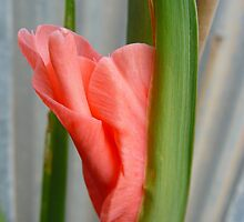 Pink Gladioli Bud by bleep