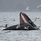 Surface Lunging Humpback Whale by Gina Ruttle  (Whalegeek)