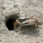 Fiddler Crab by vtmichael