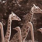 """""""Neck Parade"""" - giraffes and ostriches parading? by John Hartung"""