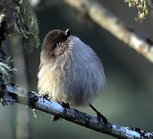 Bushtit Out for its Evening Meal by Chuck Gardner