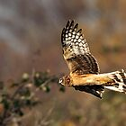 Northern Harrier Hunting by David Friederich