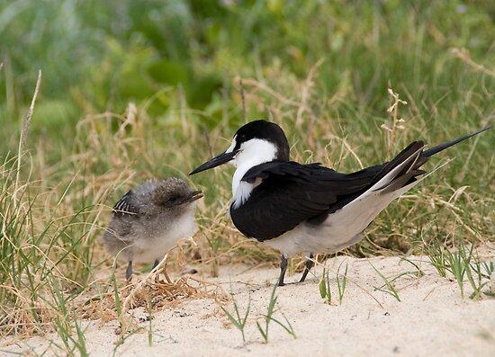 Sooty Tern and chick, Lord Howe Island, Australia by Erik Schlogl