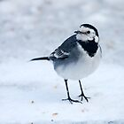 Pied Wagtail by Peter Stone