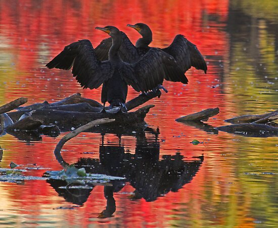 Synchronized silhouetted cormorants by jozi1