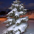My Blue Spruce by Diana Graves Photography