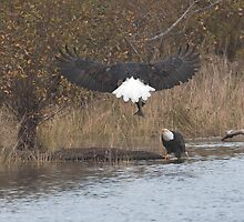 Bald Eagle Taking a Salmon to his Mate by David Friederich