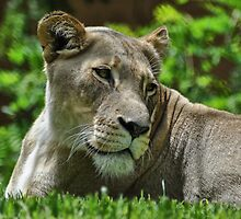 Lioness by JaninesWorld
