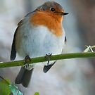 Robin 2 by Jonny Andrews