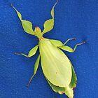 Female Leaf Bug, Heteropteryx Dilatata by SuddenJim