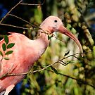 Pink Ibis at Lowry Park Zoo by Sheryl Unwin