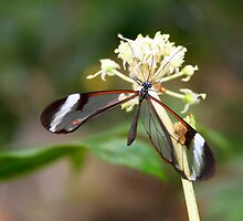 Open Glasswing on white flower - Greta oto by Lepidoptera