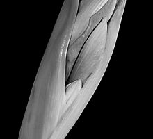 Amaryllis Hippeastrum Starting to Bloom In Black and White by Bo Insogna