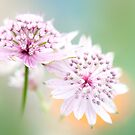 Astrantia Dream by Sarah-fiona Helme