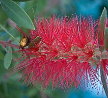 Red Brush Flower by Karen Martin