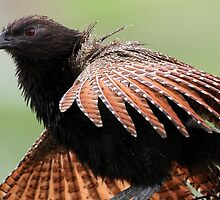 ''Pheasant Coucal'' by bowenite