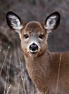 'Cutie Petootie' - White-tailed Deer by Jim Cumming