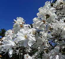 Star Magnolia Tree by MaryinMaine
