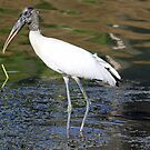 Wood stork 2 by jozi1