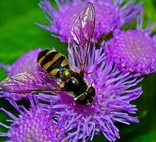 Syrphid Fly Macro I by kutayk
