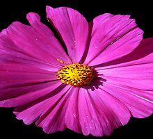 Pink Cosmos Flower by Carla Jensen