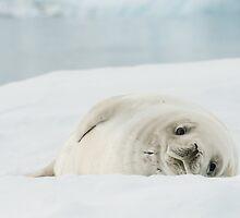 Snow White Seal by Craig Goldsmith