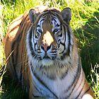 Tiger Watch by Dawn B Davies-McIninch