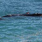 Southern Right Whale Calf by Cheryl Parkes