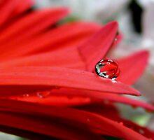 Scarlet Gerbera in a Bubble by Brenda Boisvert