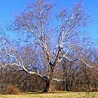 The Grand Old Sycamore by barnsis