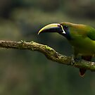 Emerald Toucanet,  Costa Rica by Raymond J Barlow