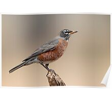 Solitary Robin Poster