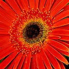 A  Gerbera Flower by Joe Bashour