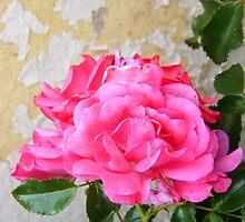 rose against flaky paint by knockknock