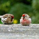 His &amp; Hers! - Redpoll - NZ - Southland by AndreaEL