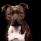 Brindle Stafford by Paul.S Photography