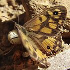 Marbled Xenica Butterfly (Geitoneura klugii) - Horsnell Gully, South Australia by Dan & Emma Monceaux