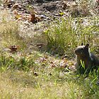 Young ground squirrel by Nichespur