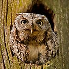 Screech Owl  by Daniel  Parent