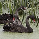 Siblings ... Black Swans by Kerryn Ryan, Mosaic Avenues