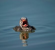 Little Cry Baby Grebe by Daniel  Parent