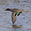 Green Winged Teal by Dennis Cheeseman